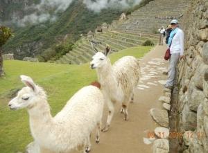 2015 11 08 Machu Picchu etwas andere Besucher