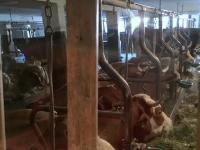 Stärkung bei der Heimfahrt beim Stanglwirt_Legendärer Blick in den Kuhstall