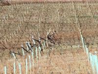 Weingärten ohne Schnee