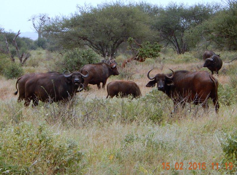 2016 02 15 Safari_Wasserbüffel