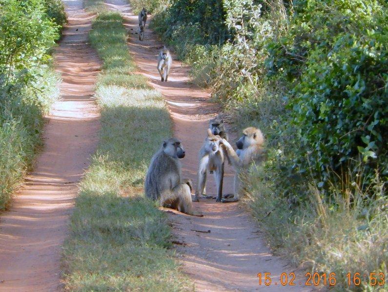 2016 02 15 Safari_viele Affenarten sehen wir auch