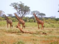 2016 02 15 Safari_erste Giraffen