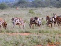 2016 02 16 Safari_einfach wunderschöne Zebras