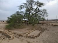 2017 02 15 Bahrain Lebensbaum mitten in der Wüste Kunstfoto 1