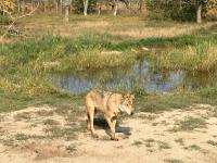 2018 09 01 Safari Wolf