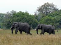 2018 10 26 Okawango Delta Elefanenpaar