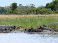 2018 10 26 Okawango Delta Nilpferde beim Baden