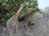 2018 10 27 Fotostopp wegen Giraffen