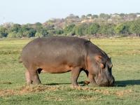 2018 10 28 Chobe Nationalpark Bootsfahrt mit Flusspferden als Rasenmäher