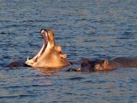 2018 10 28 Chobe Nationalpark Bootsfahrt mit Flusspferden
