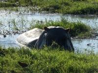 2018 10 28 Chobe Nationalpark Bootsfahrt_Flusspferd