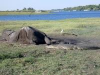 2018 10 28 Chobe Nationalpark Bootsfahrt_toter Elefant