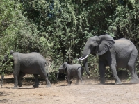 2018 10 28 Chobe Nationalpark  Elefanten marschieren bei uns vorbei