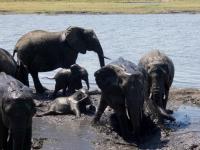 2018 10 28 Chobe Nationalpark  Elefanten suhlen sich im Dreck