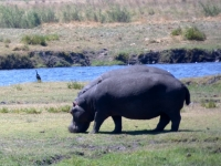 2018 10 28 Chobe Nationalpark mit Flusspferd