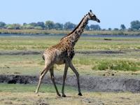 2018 10 28 Chobe Nationalpark mit Giraffe