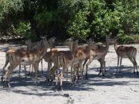 2018 10 28 Chobe Nationalpark mit Gnus