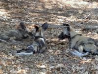 2018 10 28 Chobe Nationalpark mit Hyänen