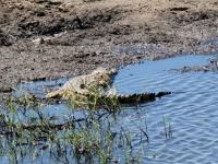 2018 10 28 Chobe Nationalpark mit Krokodil