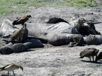 2018 10 28 Chobe Nationalpark mit totem Elefanten und Geyern