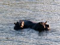 2018 10 29 Bootsfahrt am Sambesi Fluss viele Flusspferde zu sehen