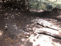 2019 02 13 Krokodilpool Katschikali über  100 Tiere leben hier