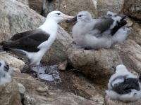 2019 03 05 New Island Süd Verliebte Albatrosse