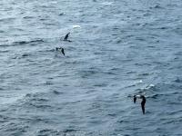 2019 03 06 Albatrosse begrüssen uns vor Saunders Island