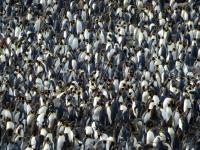 2019 03 10 Südgeorgien Saint Andrews Bay 2 größte Kolonie von Königspinguinen in der Welt