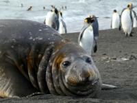 2019 03 10 Südgeorgien Saint Andrews Bay Erster Seeelefant