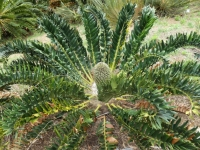2019 03 24 Kirstenbosch Frucht