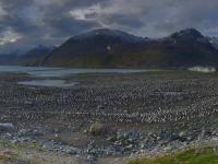 2019 03 10 Südgeorgien Saint Andrews Bay Königspinguine 2 größte Kolonie der Welt