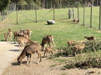 Fütterung der Mufflons mit Nachwuchs