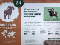 Mufflon Beschreibung