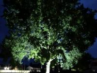 Berliner Eiche mit Beleuchtung