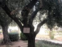 2019 11 26 Jerusalem Olivenbaum gepflanzt anl Besuch Papst Paul 6 im Jahre 1964