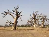 2020 02 11 Baobab Spinnenbaum