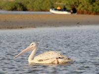 2020 02 11 Lagune wunderschöne Pelikane
