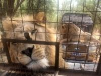 2020 02 15 Löwenreservat_Gemütlichkeit