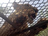 2020 02 15 Löwenreservat_er wartet auf das nächste Fleisch
