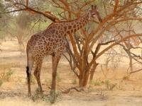 2020 02 15 Naturreservat Bandia Giraffe direkt vor uns