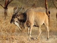 2020 02 15 Naturreservat Bandia Pferdeantilope
