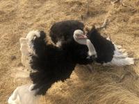 2020 02 15 Naturreservat Bandia Vogelstrauss brunft