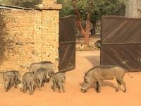 2020 02 15 Naturreservat Bandia Warzenschweine beim Eingang