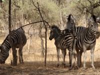2020 02 15 Naturreservat Bandia Zebras