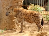 2020 02 15 Naturreservat Bandia seltenes Foto einer Hyäne