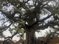2020 02 16 Muschelinsel Baobab Baum