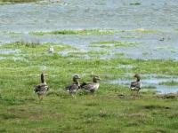 2020 07 06 Norderney Ostheller Dünenwanderung  mit Enten