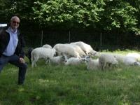 2020 07 08 Wikinger Schafe