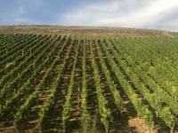 2020 08 24 Weinreben zwecks Berglage horizontal angebaut
